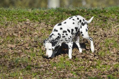 dalmatiner hund im wald