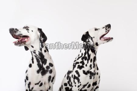 identische hunde zusammen keuchend
