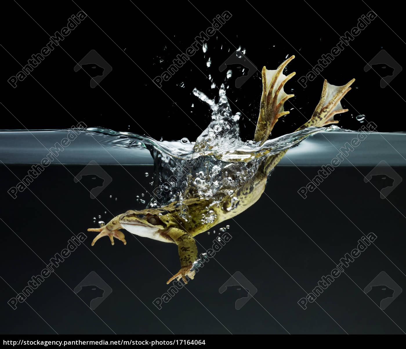 frosch schwimmen unter wasser - Lizenzfreies Foto - #17164064 ...