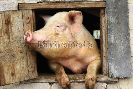 schwein schaut aus dem fenster des