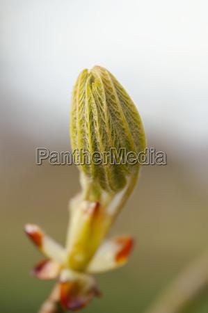 horse chestnut leaf bud