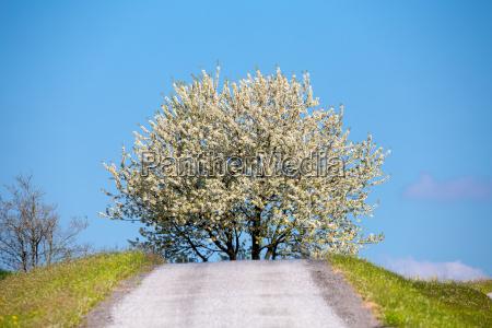spring flowering tree in countryside