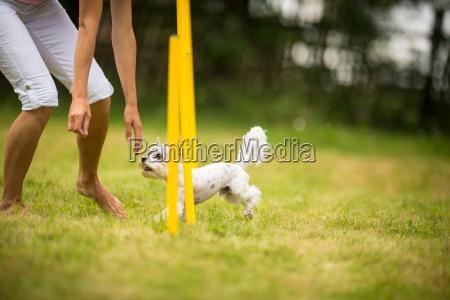 piccolo poco breve cane vivacita formazione