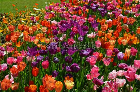 garden flower flowers plant spring tulips
