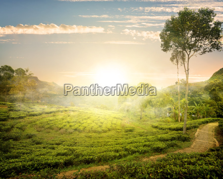 nebel und teefelder