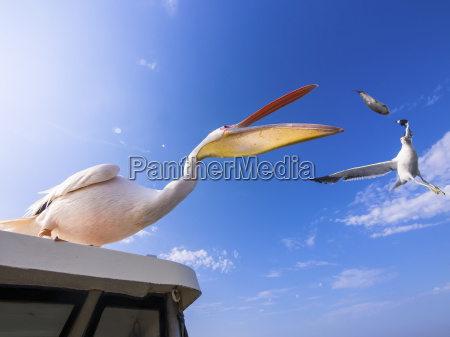 namibia erongo province white pelican standing