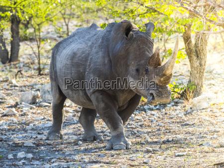 namibia outjo ongava wild reservat breitmundgebrachte