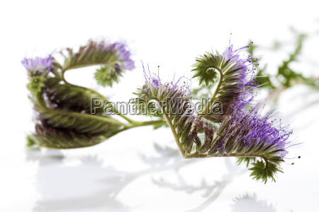 lacy phacelia in front of white