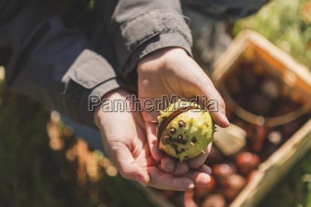 boy holding chestnut in hand close