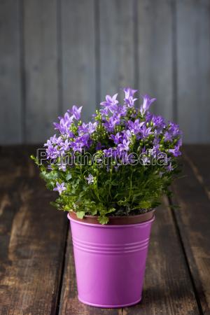 potted bellflower