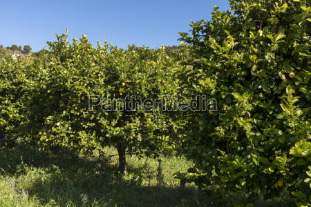 sicily noto organic lemon trees