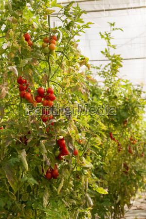 tomatenpflanzen im gewaechshaus