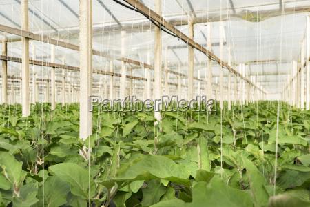 eggplants in greenhouse