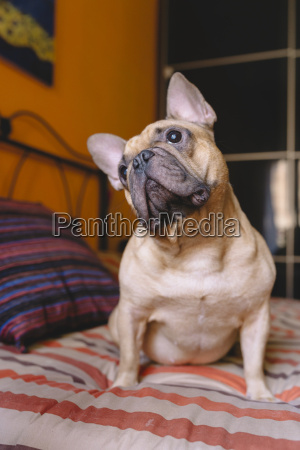 french bulldog sitting on the bed