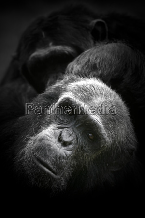 kenia portraet von common schimpanse