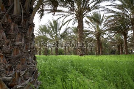 tunesien grand erg oriental palmen und