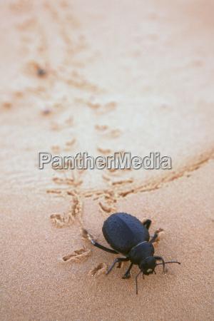 wueste oednis tier insekt krabbeln afrika