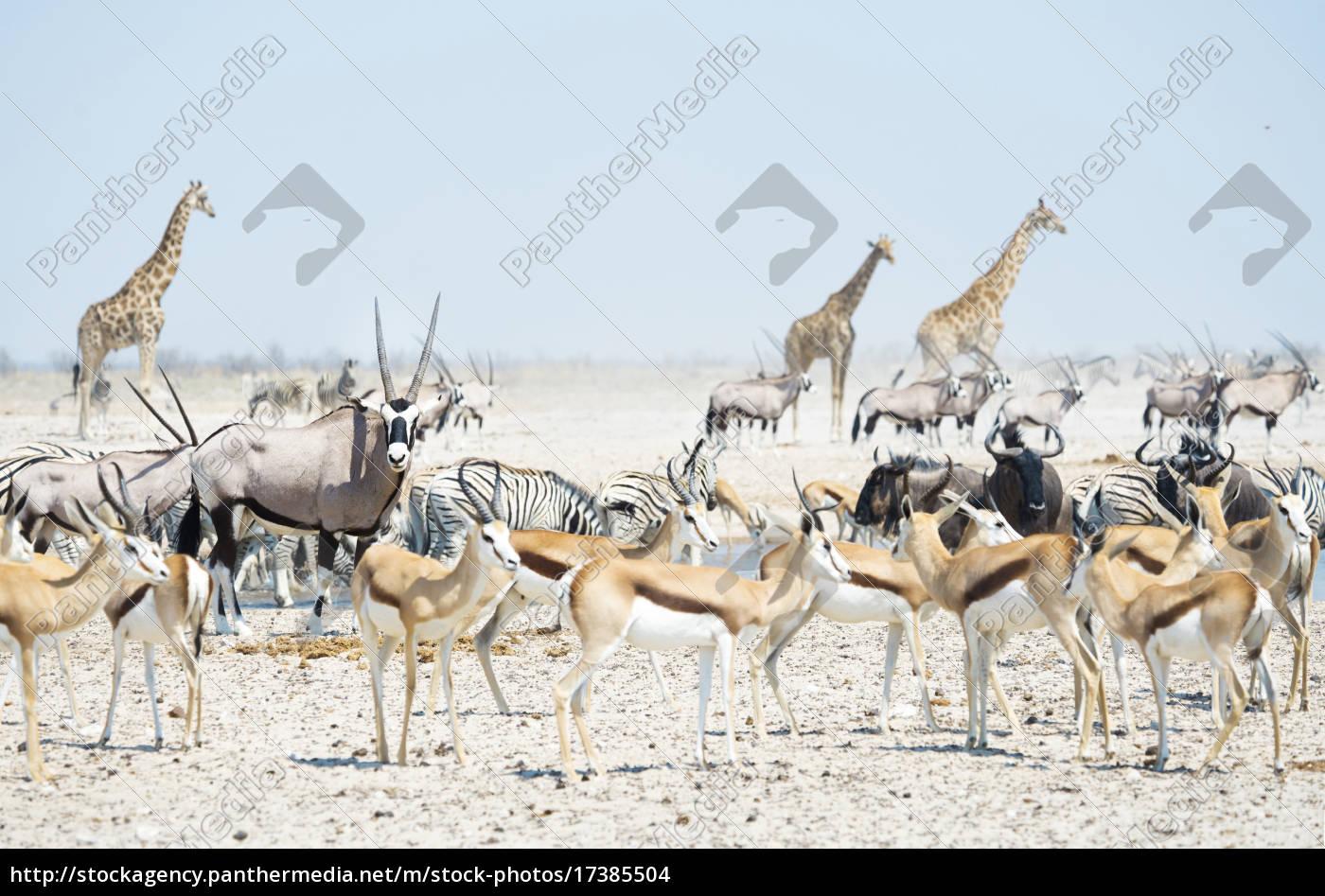 namibia, etosha, nationalpark, wilde, tiere, an, einem, wasserhol - 17385504