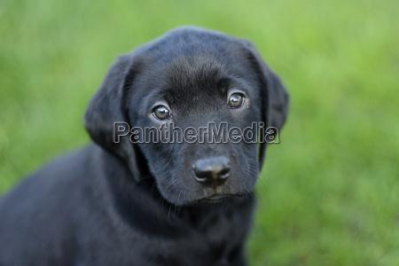portrait of black labrador puppy