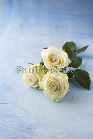 three white roses on light blue