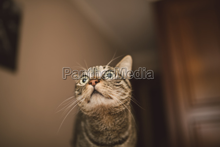 tabby cat with alert expression