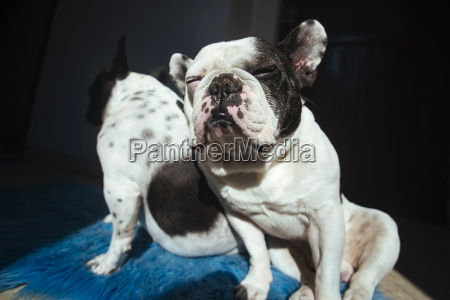 portrait of snoozing french bulldog leaning