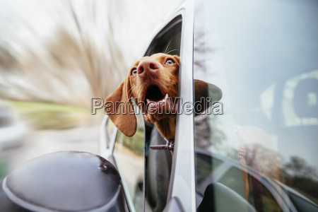dog looking through car window