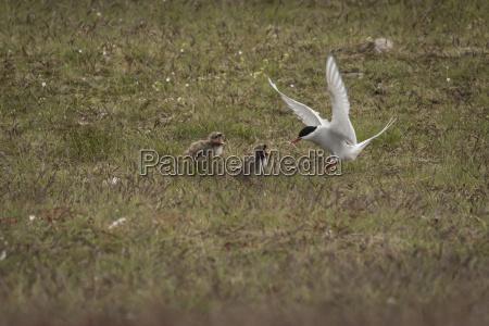 iceland stern feeding young birds