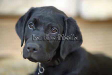 portrait des schwarzen labrador welpen