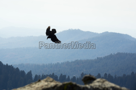 usa california eagle flying over yosimite
