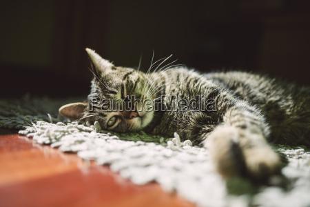 portraet der gestromten katze entspannen auf