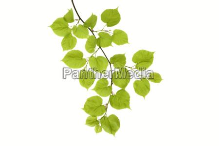 lime tree tilia leaves against white