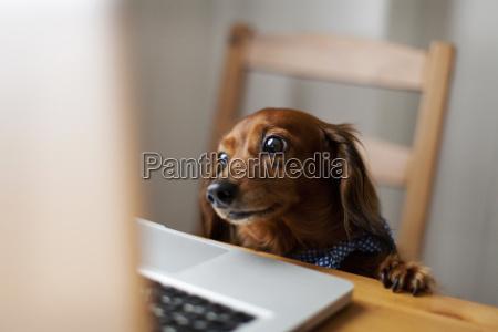 langhaardackel auf der suche laptop