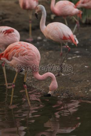 chilenischer flamingo phoenicopterus chilensis