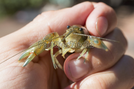 close up of hand holding yabby
