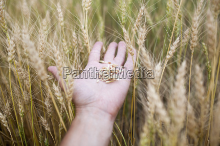 close up of hand holding wheat