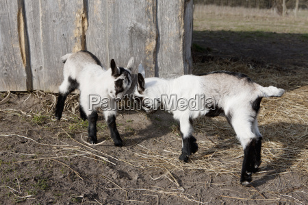 full length of playful goat kids