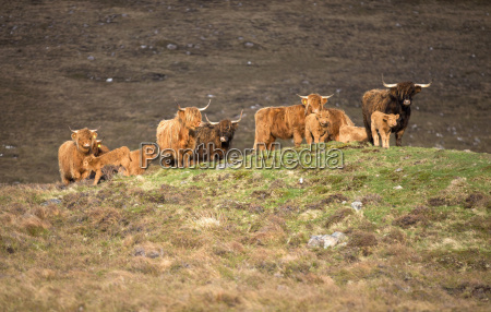 highland cattle grazing on moor