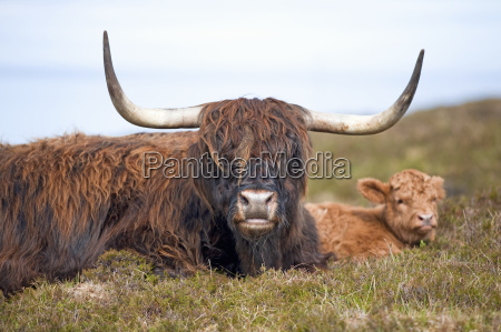 highland cattle on scottish moor