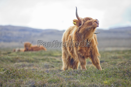 highland cow on scottish moor