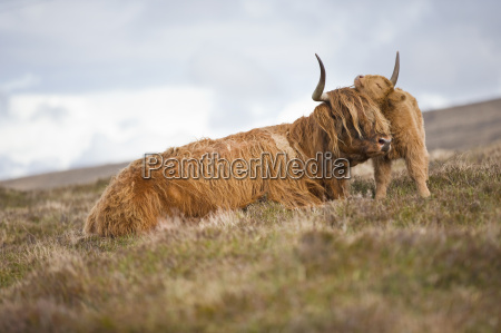 highland calf nuzzling mother on scottish