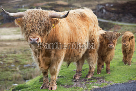 highland cattle bull with calves