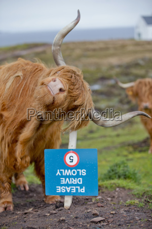 highland cow scratching ear on sign