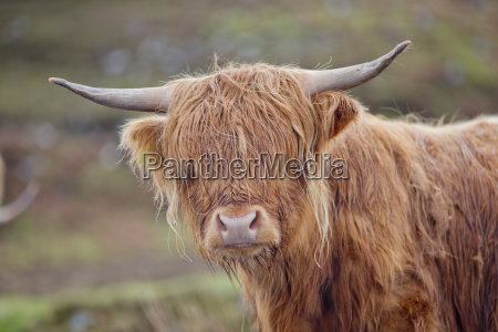 portrait of highland cow