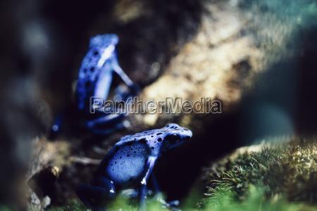 close up der blauen pfeilgiftfroesche auf