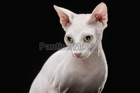 close up of sphynx hairless cat