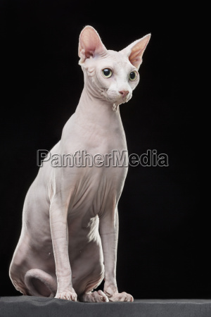 sphynx hairless cat looking away while