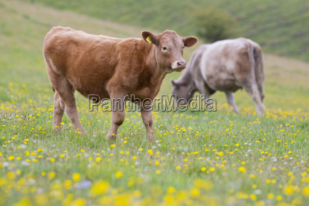 devon calf in rural field