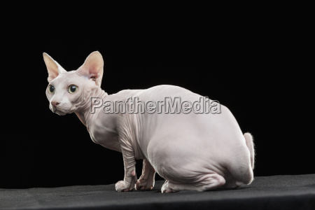 close up of alert sphynx hairless