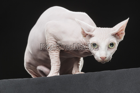 close up portrait of sphynx hairless